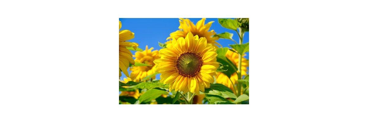 Sonnenblumenkerne - Sonnenblumenkerne